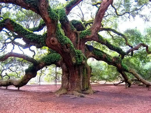 roble-angel-oak-01
